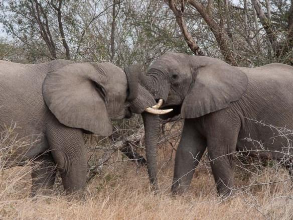 słonie zaloty :)
